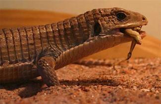 Lizard które zjada i jak się zachować w domu?