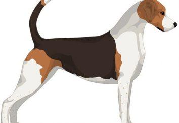 Foxhound angielski – urodzony myśliwy