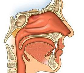 ¿Cómo funciona la nariz. cavidad nasal, sus características, funciones y estructura