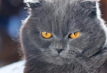 szkocki kot