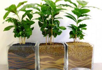Café – una planta en el país