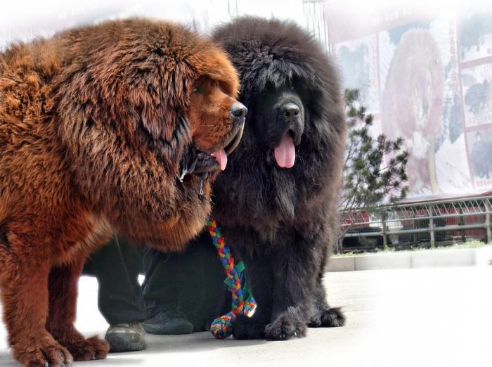 tibetanischer mastiff gewicht