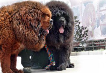 Mastif tybetański psy rozmiar, opis rasy