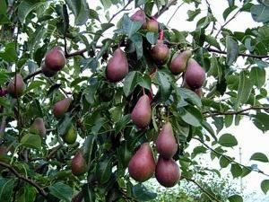Quali malattie di pera e parassiti sono pericolosi?