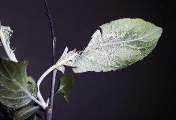 Blattläuse auf einer Pflaume: wie man kämpft?