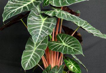 Dekoracyjne i liściaste rośliny doniczkowe: imiona, zwłaszcza uprawa