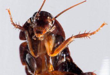 Rodzaje karaluchów krajowych. Widok jedzenia karaluchów rzęs (foto)