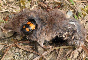 nécrophore: l'habitat, les comportements de reproduction et