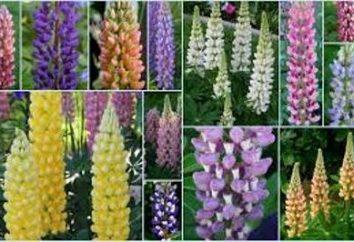 Blumen Lupine: viel Grün, und ein Aufstand der Farben auf dem Blumenbeet
