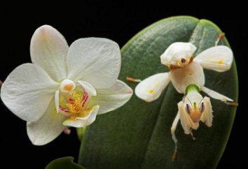 Mantis orchideous – owady jak kwiat