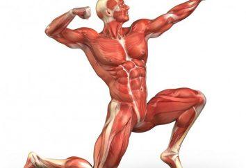 L'hormone de croissance pour la croissance musculaire. Quelles sont les hormones de croissance pour les athlètes débutants?
