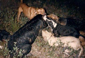 Caça javali com huskies. caça ao javali selvagem com cães