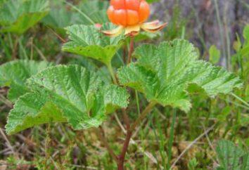 Cloudberry – la bacca di molte malattie