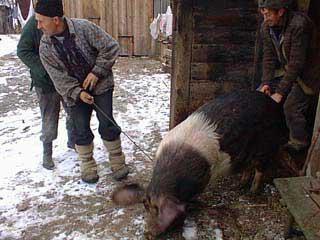 Come uccidere un maiale. Come dividere il maiale in pezzi