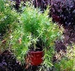 Anspruchslos und schöne Pflanzen – Spargel Sprenger