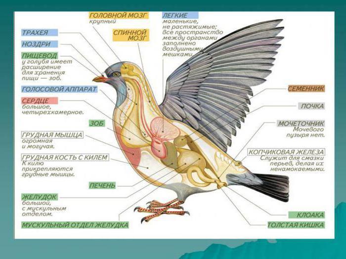 Externe und interne Struktur der Vögel. Die inneren Organe der Vögel
