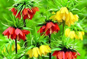 Fiore corona reale: la semina, la coltivazione e la manutenzione