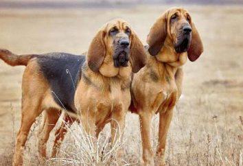 Najgłupszych ras psów. Wykaz ras psów, które są trudne do szkolenia