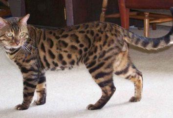 Najpiękniejszy kot rasy – o co chodzi?