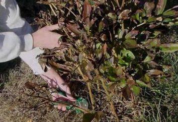 Cuidados peônias. Após a floração, a planta deve recuperar força