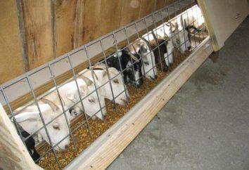 Un hangar et un alimentateur pour les chèvres. Chèvres à la maison pour les débutants