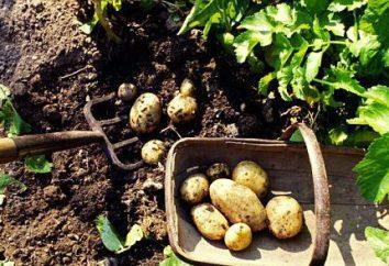 No sonho, ela estava cavando batatas: a interpretação de um sonho. O que significa cavar batatas em um sonho?