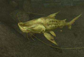pesce gatto d'oro: mantenimento e l'allevamento in acquario