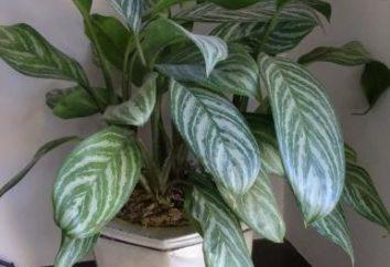 Birch – una pianta d'appartamento nella vostra casa!
