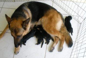 Pastor alemán: el cuidado de los cachorros y cuidar de ellos