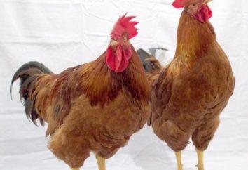 Redbro (polli): recensioni, descrizioni e caratteristiche