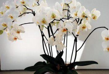 Comment féconder l'orchidée à la maison?