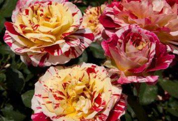Rosa (Rosaceae rozciągające Sem ..): Podstawowe informacje, charakterystyki i oceny