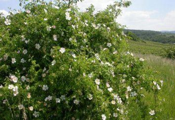 """Dzika róża """"dog rose"""": opis, cechy odmiany, opiekę i propagację"""