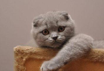 I colori più comuni dei gatti scozzesi