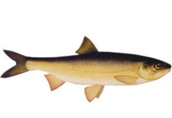 Carp – pesce con delicata disposizione