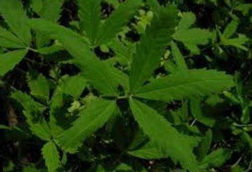 Sabelnik: Właściwości lecznicze roślin