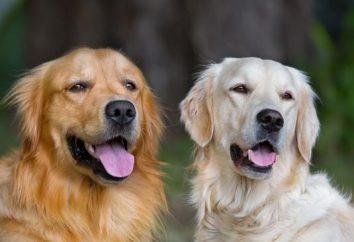 Na co dzień rui trzeba robić na drutach psa? Zasady krycia psów