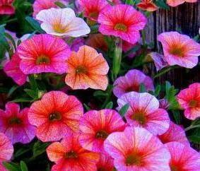 petúnias plantio adequados no solo e cuidados para as plantas