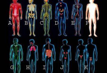 órganos humanos: el circuito. Anatomía: estructura de la humana
