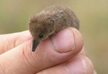 Qual è il più piccolo mammifero del mondo?