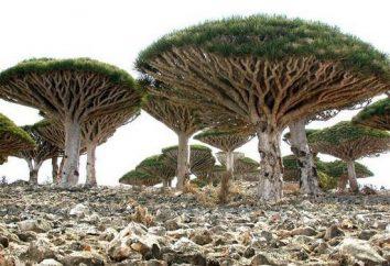 Visite de l'île de Socotra. Où se trouve l'île de Socotra?