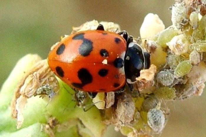 Les insectes pr dateurs une liste d 39 exemples les for Hotel a insecte coccinelle