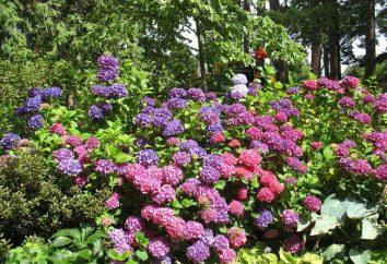 macrophylla Hydrangea: variedades resistentes ao frio (comentário)
