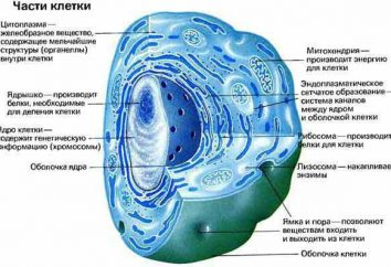 Quante cellule nel corpo umano? Quali sono i più importanti?