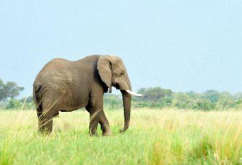Fatos interessantes sobre elefantes. Quantas vidas elefante na natureza