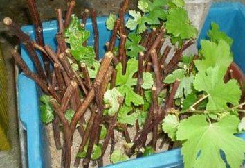 Wie die Stecklinge von Trauben zu halten, zu Hause zu springen?