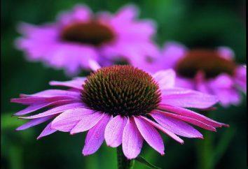 Echinacea nalewki dla odporności: Opinie lekarzy, instrukcji i stosowania