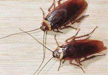 Ponieważ mieszkanie szybko i trwale przynieść karaluchy