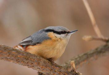 Sitta dal Comune: descrizione, habitat, riproduzione