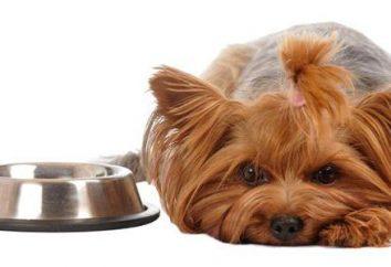 Feed para Yorkshire Terriers. comidas York